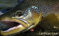 Knowing When a Trout Will Take Your Fly