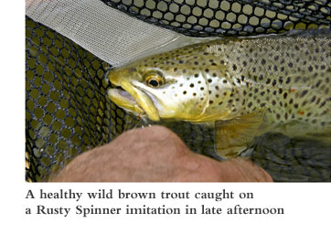 A health wild brown trout caught on a Rusty Spinner imitation in late afternoon.
