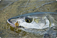 Saltwater Fly Fishing How To Articles